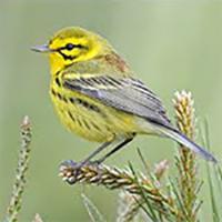 Prairie Bird
